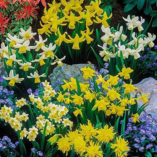 Mixed Dwarf Daffodil bulbs (Pack of 100) Yougarden 3_630029