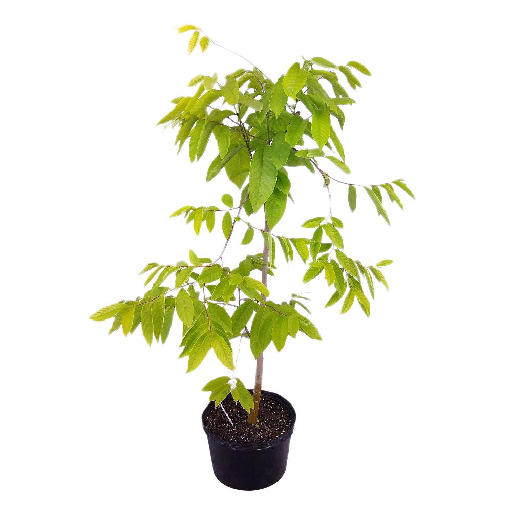 PlantVine Cananga odorata, Ylang-ylang Tree - Extra Large, Tree - 12-14 Inch Pot (7 Gallon), Live Plant