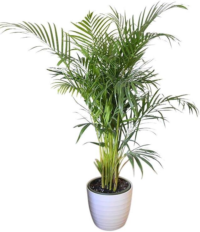 Planta de interior - Planta para la casa o la oficina - Palmera Areca Chrysalidocarpus lutescens - Palmera mariposa - 1, 4 metros: Amazon.es: Jardín
