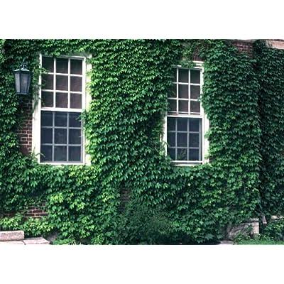 Japanese Creeper 20 seeds Japanese Ivy Parthenocissus tricuspidata : Garden & Outdoor