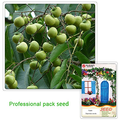 new-arrival-1-professional-pack-new-home-garden-plant-3-seeds-sapindus-mukorossi-soap-nut-soapberry-