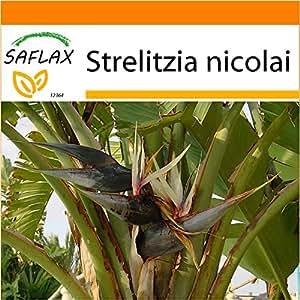 SAFLAX - Garden in the Bag - Ave del Paraíso gigante - 5 semillas - Strelitzia nicolai