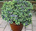 Seeds Market Rare Heirloom blueberry blueberry bonsai, professional packing, 50 seeds, delicious juicy fruit