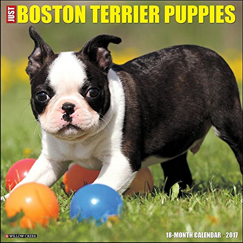 Boston Terrier Puppies 2017 Wall Calendar
