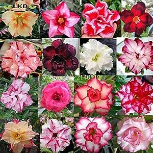 Semillas obesum Mix Desert Fresh Rose semillas real rara mezcla Adenium obesum semillas R10