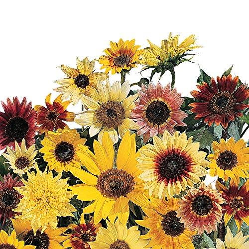 (Burpee Fantasia Hybrid Mix Sunflower Seeds 50 seeds )