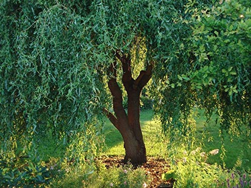 (1 Gallon Bare-Root) Corkscrew Willow has an Interesting Branching System That Twists Horizontally and Forks Vertically, Giving it a Distinctive Look. - Twist Cork