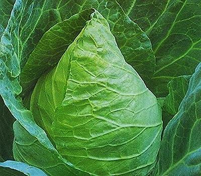 Conehead Cabbage seeds - Brassica oleracea var. capitata