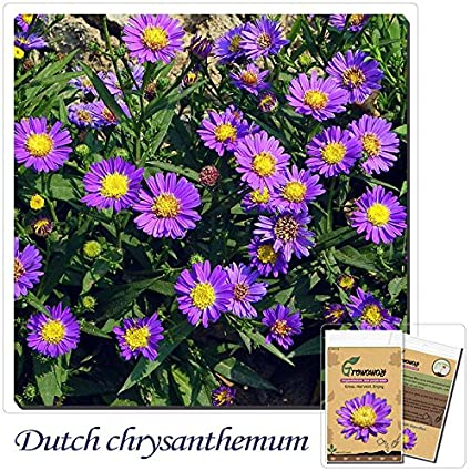 Amazon.com  Mayan Seeds LLC Dutch chrysanthemum flowers