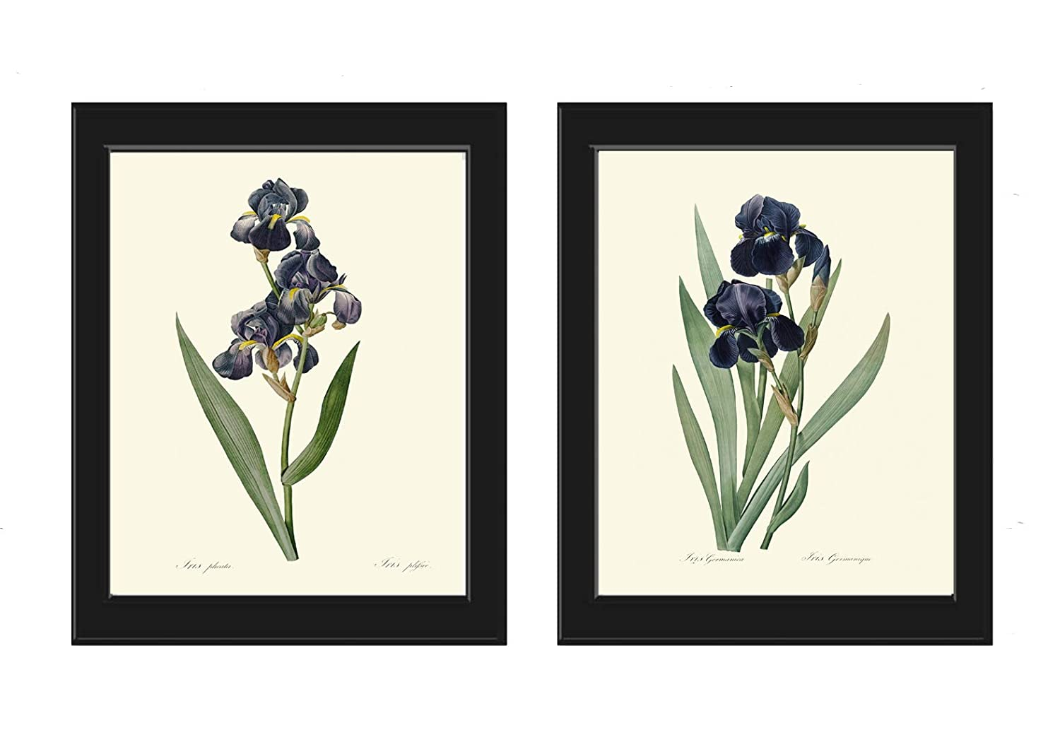 Blue Iris Wall Art Print Set of 2 Prints Beautiful Antique Flowers Botanical Illustration Picture Spring Summer Garden Plants Nature Home Decor Unframed RE LoveThePrint
