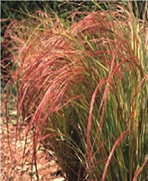 Pictures Of Ornamental Grass Just seed ornamental grass stipa arundinacea 100 seed amazon just seed ornamental grass stipa arundinacea 100 seed workwithnaturefo