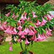 Pink Angel Trumpet Plant Brugmansia suaveolens Live Plant [TROP210]