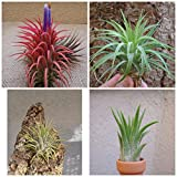 CTS Air Plants Tillandsia Ionantha Assorted 3 Pack