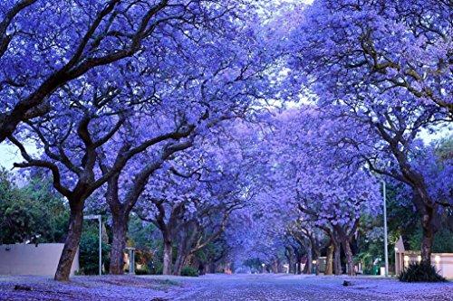 - Nianyan 60 BLUE JACARANDA TREE (Fern Tree/Brazilian Rose Wood/Green Ebony) Jacaranda Mimosifolia Seeds