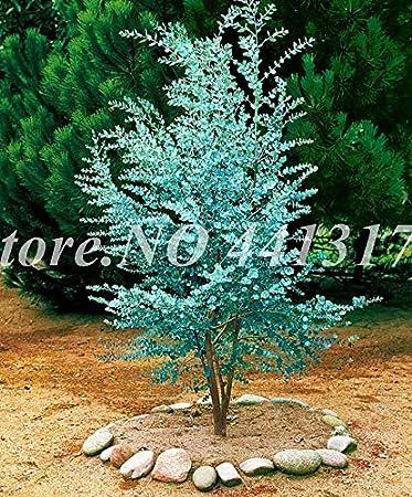Pinkdose 50 Pz Rare Rainbow Eucalyptus Deglupta Bonsai Da Esterno