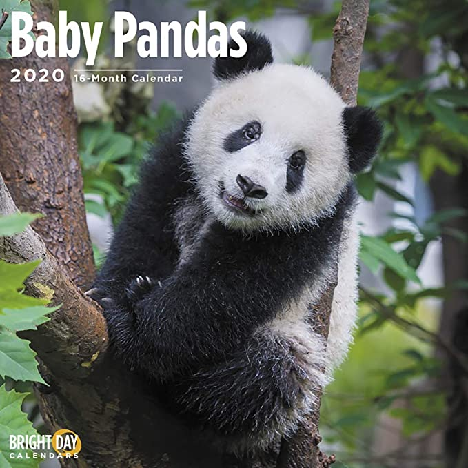 Amazon Com 2020 Baby Pandas Wall Calendar By Bright Day 16 Month 12 X 12 Inch Cute Animals Giant Fluffy Office Products