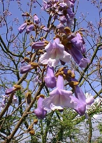 100 PCS rea Paulownia princess tree or empress tree rare purple color flower tre