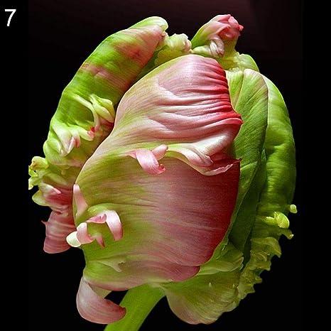 DeYL Semillas Plantas Semillas 30Pcs del Tulipán del Loro Bola de la Flor de la Planta del Jardín de la Azotea Bonsai Balcón Decoración - 7# Semillas Tulipán: Amazon.es: Deportes y aire
