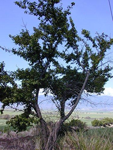 10 Seeds Sideroxylon celastrinum Saffron Plum Fruit (Texas Olive Tree)