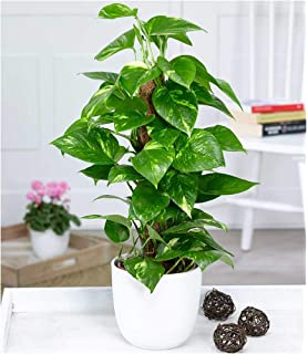 Sansevieria trifasciata Laurentii 40 cm  Zimmerpflanze Blumenversand