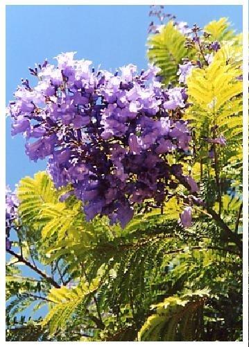 Jacaranda Jacaranda mimosafolia TROPICA - 50 graines- M/éditerran/ée