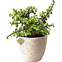 Abana Homes Good Luck Jade Plant with Pot Indoor