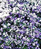 10pcs Brunfelsia pauciflora Floribunda Yesterday Today Tomorrow Seeds Dwarf Plant