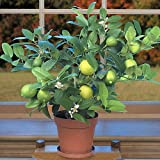 "Key Lime Tree - 8"" Pot - Fruiting Size/Branched Plant - Make Key Lime Pie"