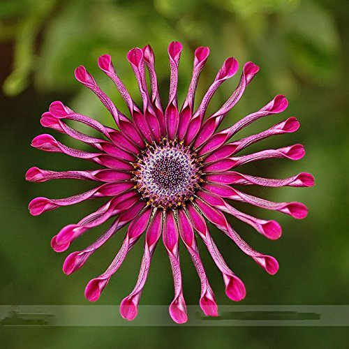 By Dubu 200 Seeds Rare Heirloom Flower 'Power Spider' Purple Chrysanthemum Seeds, Professional Pack, 100+100 Seeds