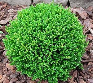 9cm pot hebe green globe 39 emerald green 39 garden edging container ground cover shrub plant. Black Bedroom Furniture Sets. Home Design Ideas