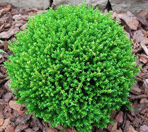 9 cm Maceta Hebe bola verde (