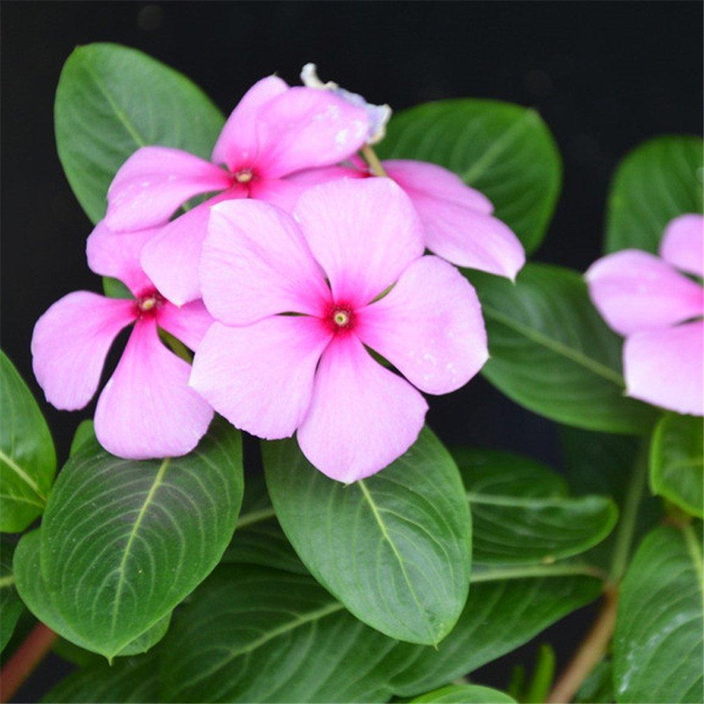 Amazon Vinca Madagascar Periwinkle Dark Pink Flower 100 Pcs