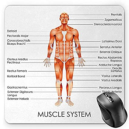 Amazon Bglkcs Human Anatomy Mouse Pad By Muscle System