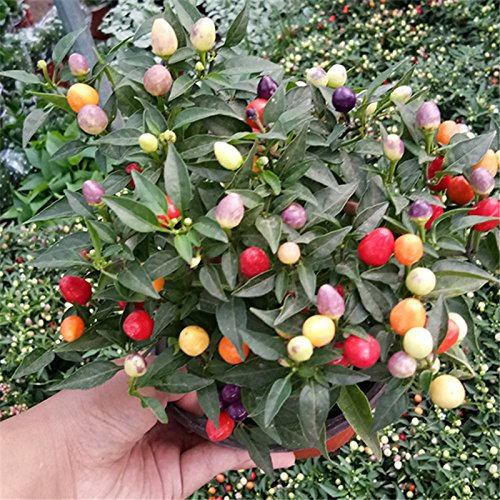 Round Chili (Mini round Chili peppers seeds Multi color Pepper seeds,Edible Ornamental Vegetables for Garden Home)