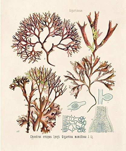 16 X 20 Vintage Botanical Irish Moss Algae
