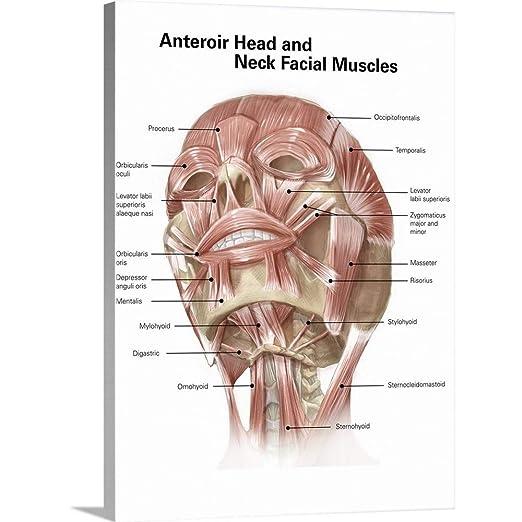 amazon アラン gesekギャラリー anterior首と顔の筋肉の人間のヘッド