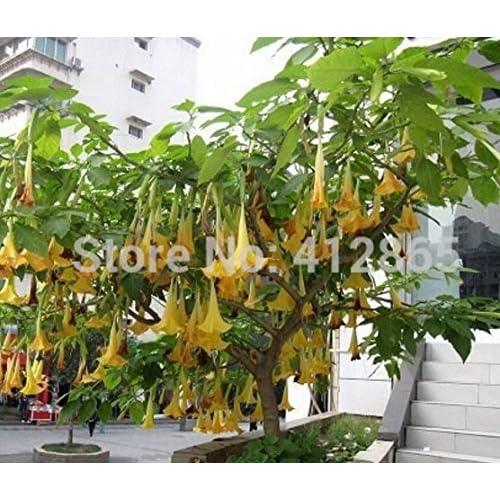 25pcs/lot Bonsai Tree Mandala Seeds White/yellow/pink
