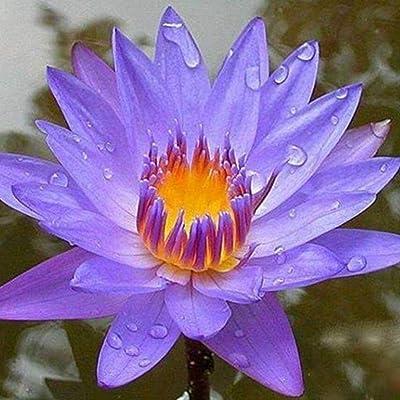 Lotus Seeds, Lotus Flower Water Seeds, Flower Seeds Rarities Houseplants for Home Garden Yard Decor : Garden & Outdoor