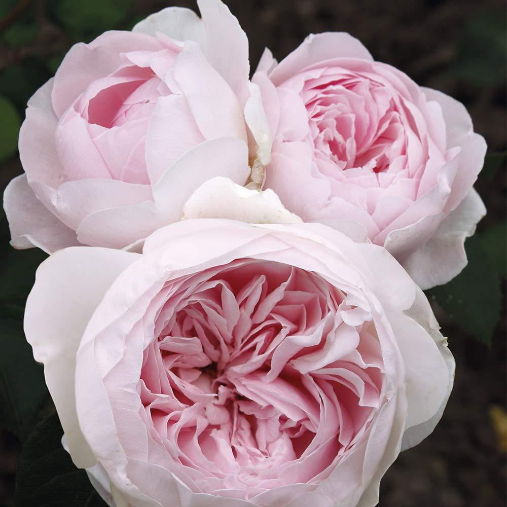 Own-Root One Gallon Earth Angel Floribunda Rose by Heirloom Roses
