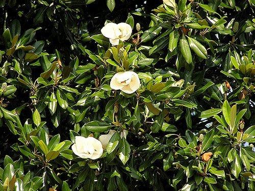 Magnolia Leaves - 2