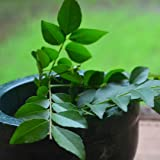 Creative Farmer Kadi Patta - Curry Leaf Seeds Seeds For Kitchen Plant Seeds For Garden Pack