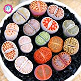 2pcs graines Lithops bulbs Pseudotruncatella Pierre Vivante Rare Succulentes Graines Jardin Des Plantes graines for home garden