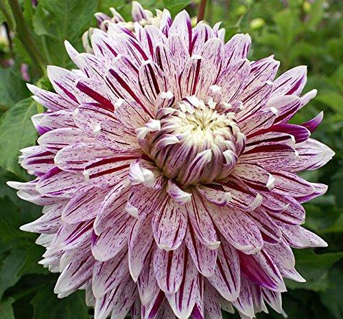 1 Dinnerplate Dahlia Tuber - Avignon - Order Now For Spring Planting!!!