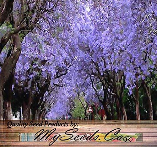 jacaranda-mimosifolia-blue-rare-flowering-tree-flamboyan-delonix-seed-10-seeds