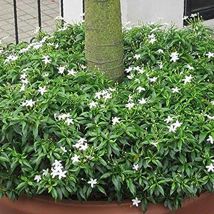 Cloudburst Plantazee Hibiscus Plant Flower Indoor Outdoor Decorative