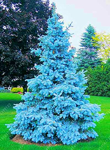 100 tree seeds rare Evergreen Colorado blue spruce seeds PICEA PUNGENS GLAUCA good for growing in pots, flower pot ()
