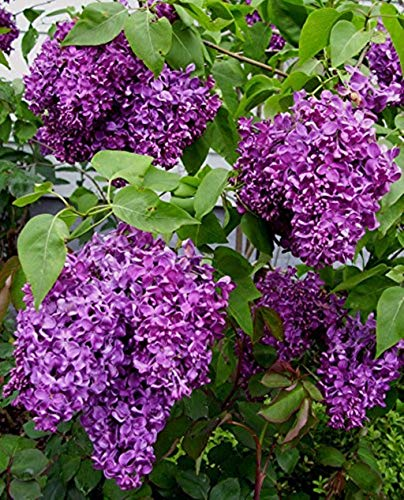 3 Plants in 3.5 Pots Common Lilac Flowering Shrub Live Healthy Established by iniloplant (Image #3)