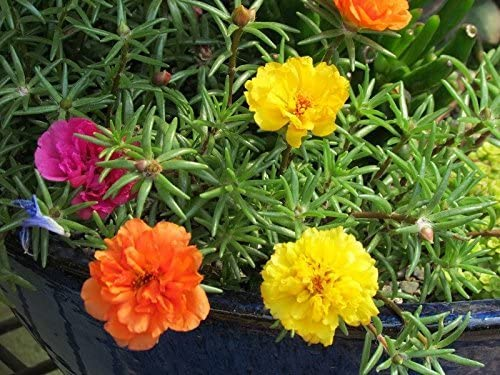Semillas de flores Pinkdose®: después de la planta de flor de mediodía Semillas de jardín Semillas de plantas para minipisos (6 paquetes) Semillas de plantas de jardín: Amazon.es: Hogar