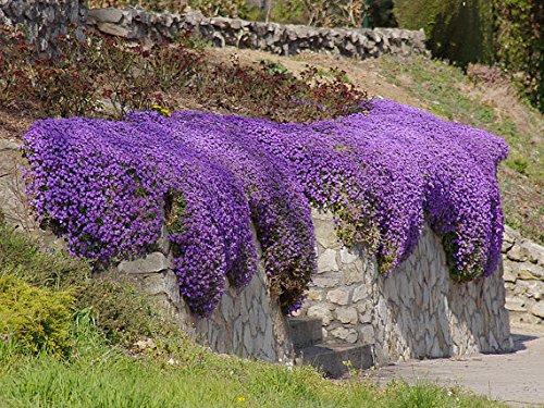 Flower seeds 100 Aubrieta Seeds - Cascade Purple FLOWER SEEDS, Superb perennial ground cover