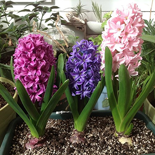 Adarl 300pc/Package Multi Hyacinth Seeds Ornamental Plants Seeds Courtyard Garden With Flower Seeds Professional Pack